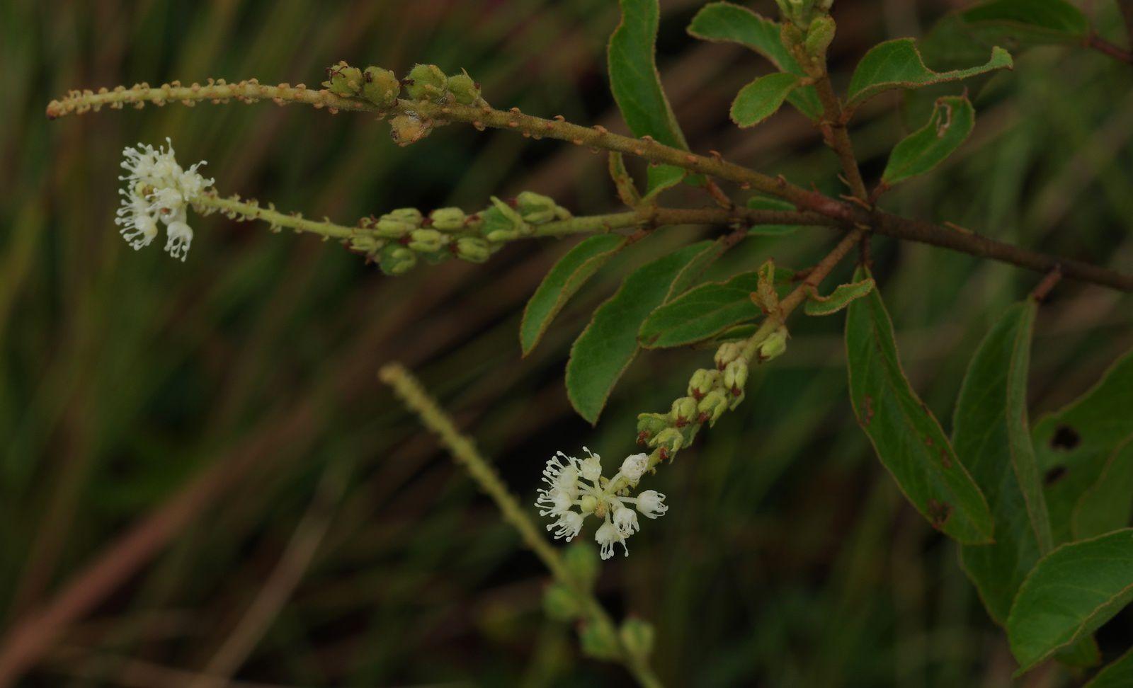 Croton hostmannii (à confirmer)