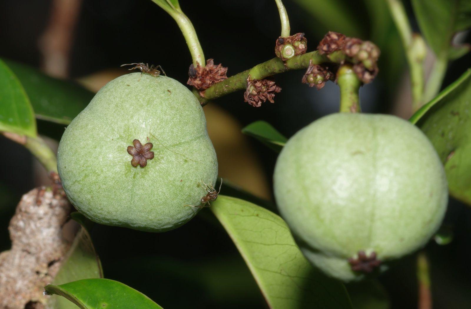 Amanoa guianensis
