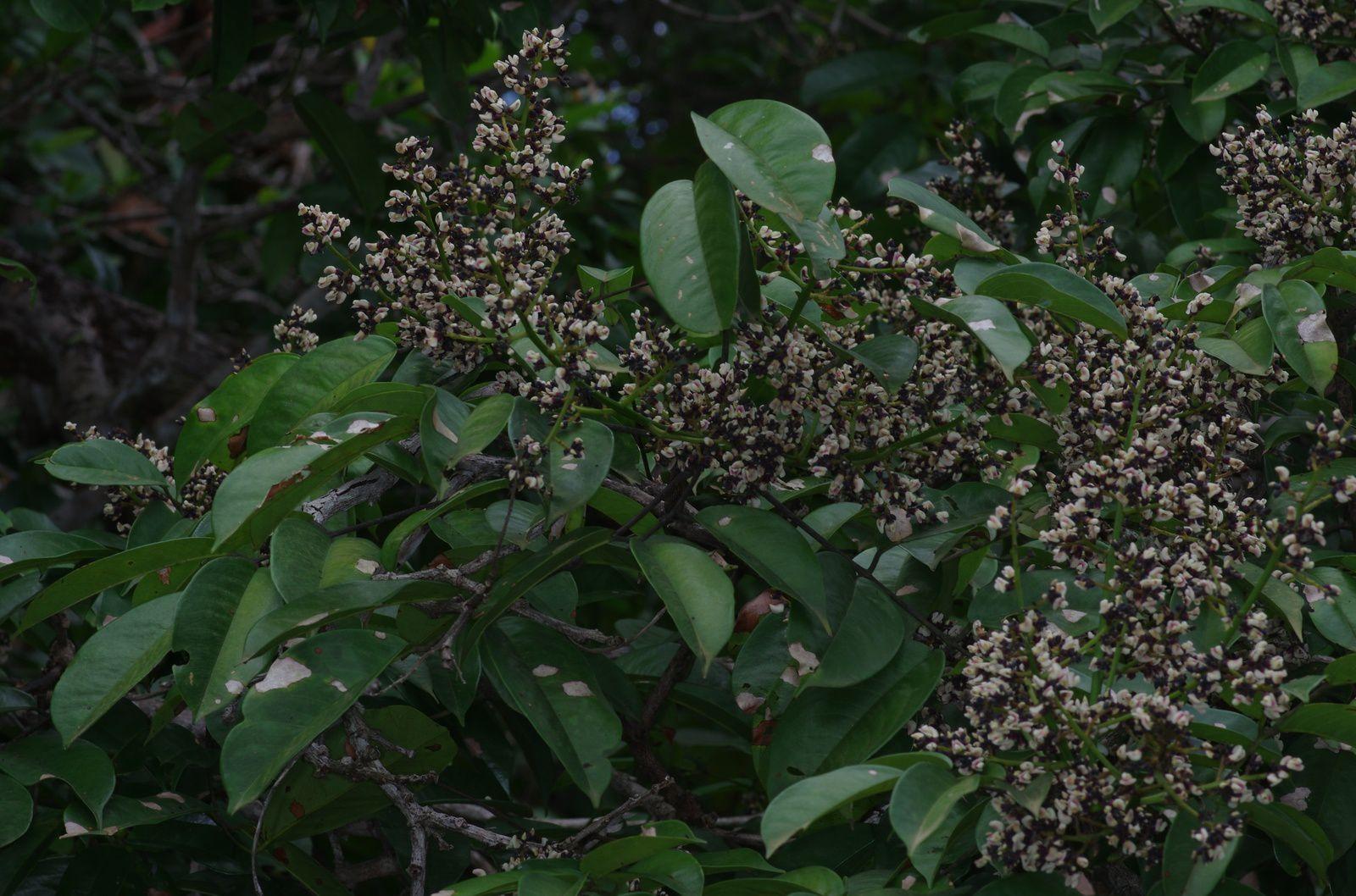 Andira coriacea (Saint-Martin rouge)