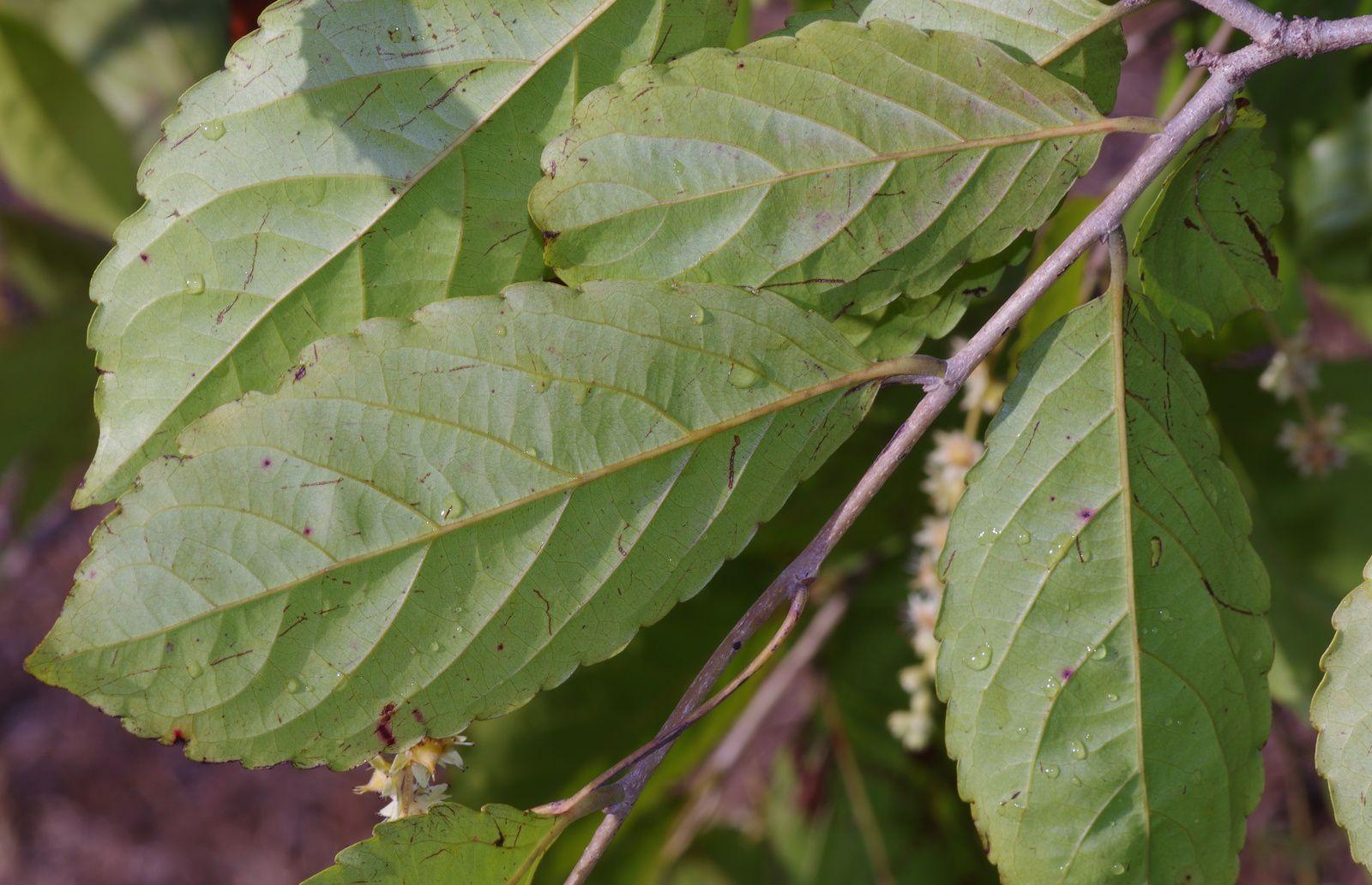 Homalium guianense