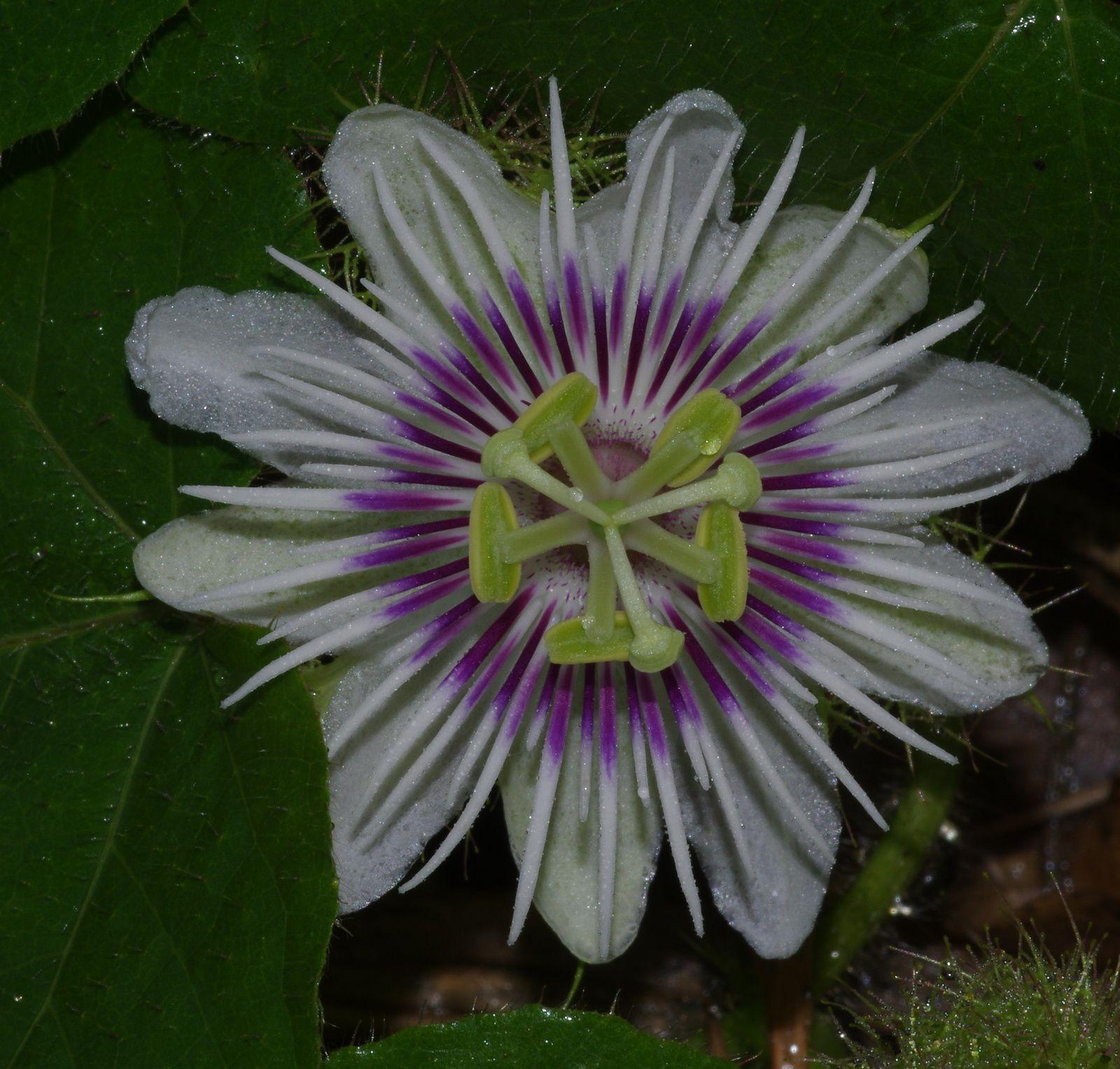 Passiflora foetida var. hispida