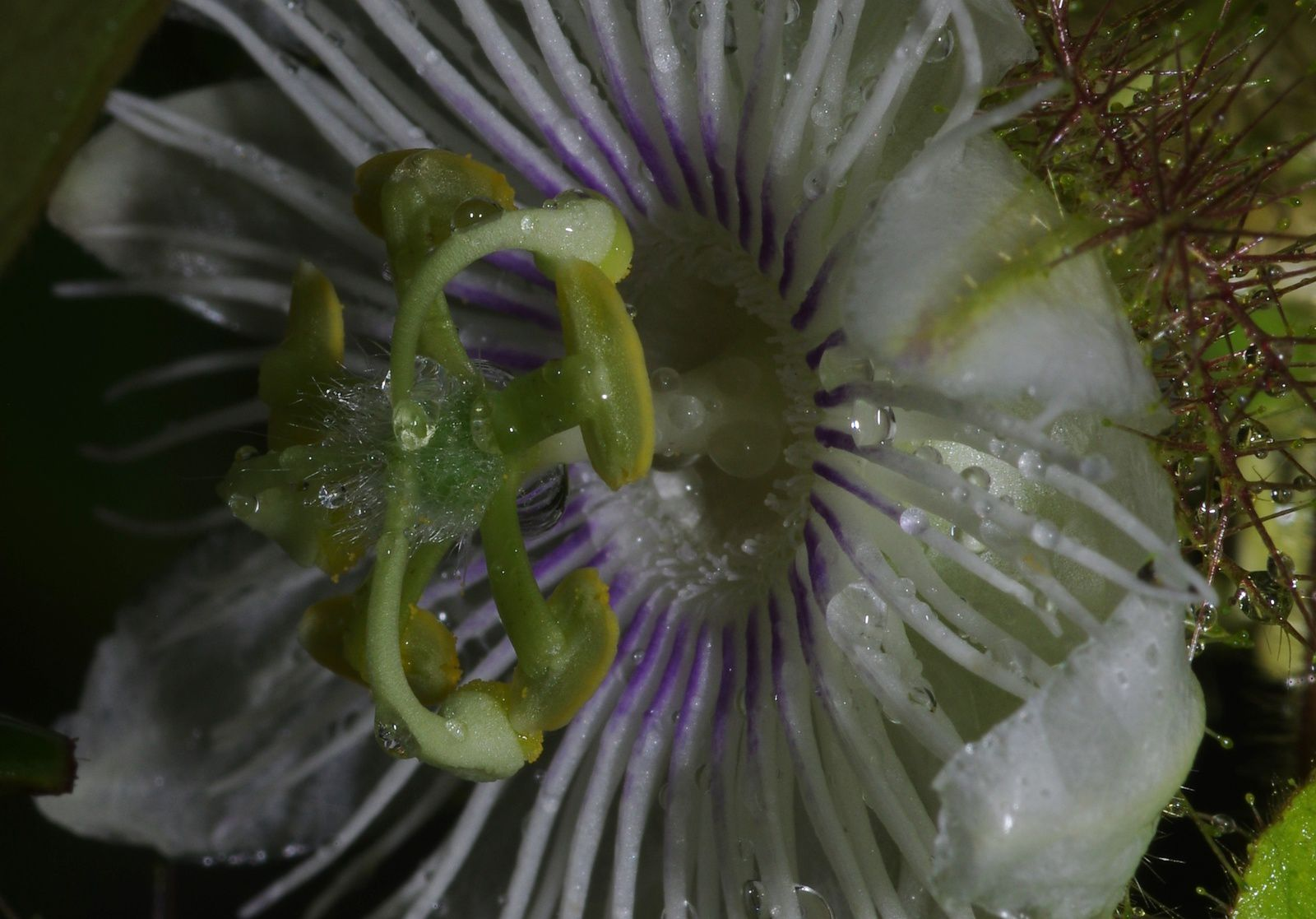 Passiflora foetida var. foetida