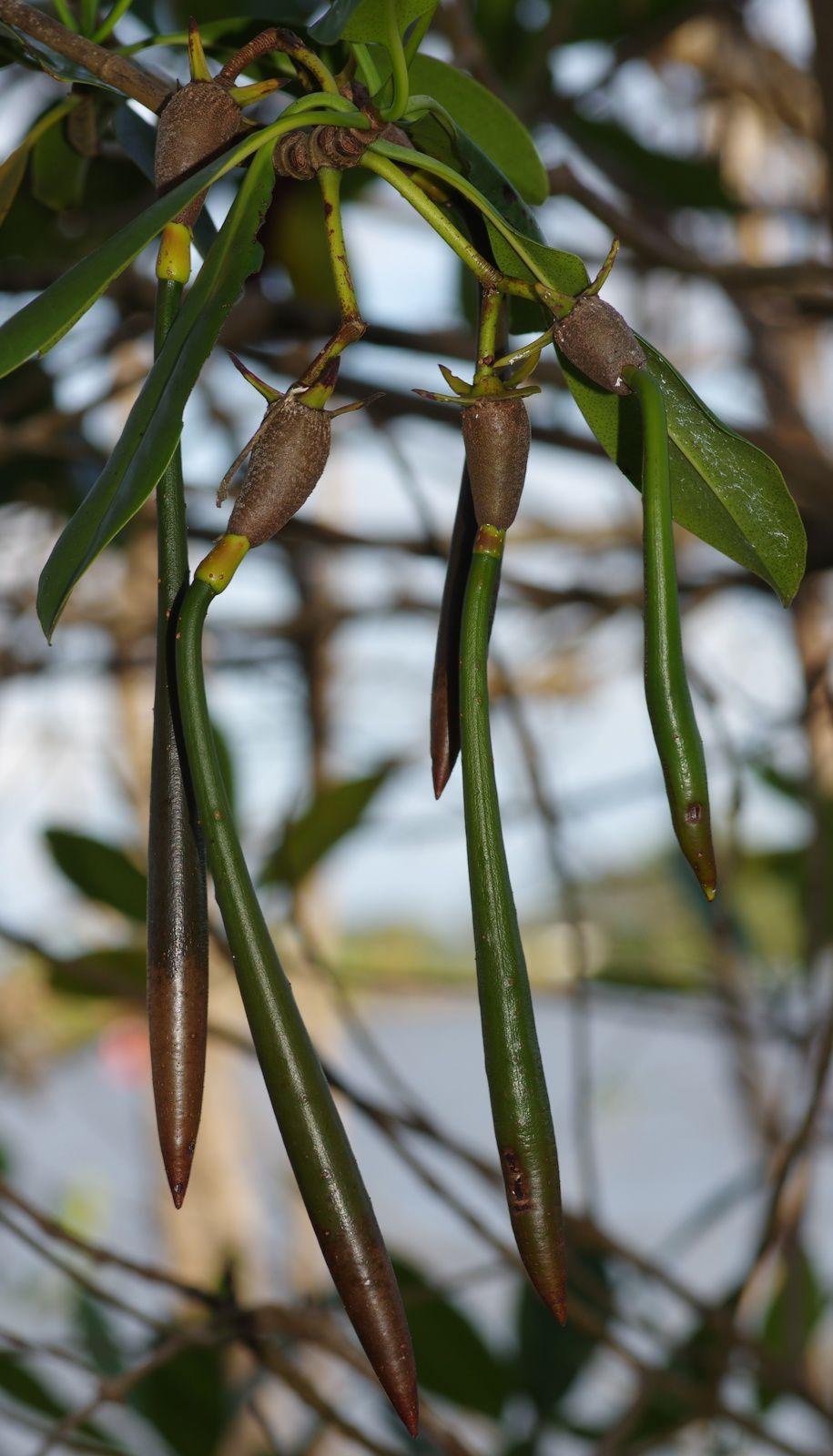 Rhizophora racemosa (palétuvier rouge)