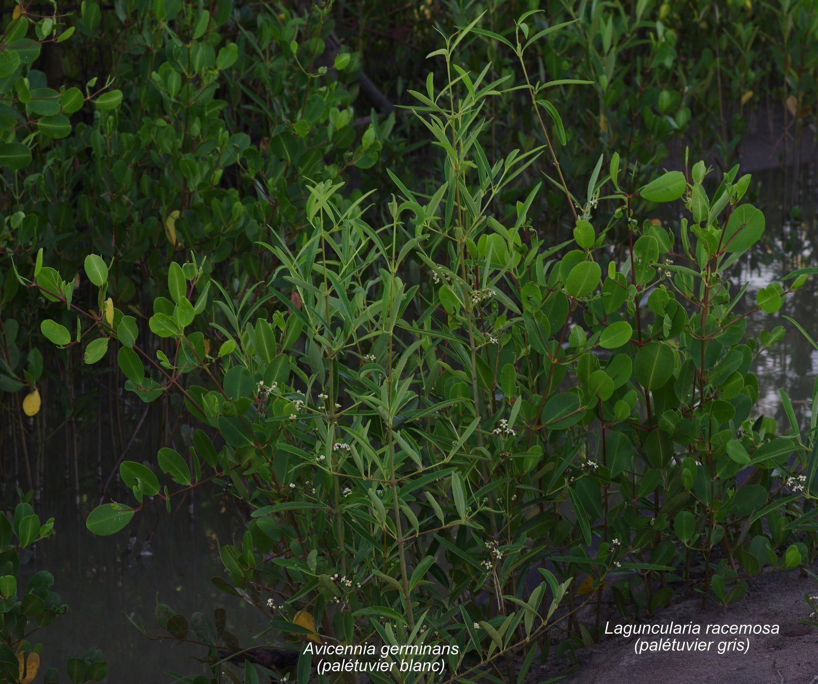 Laguncularia racemosa (palétuvier gris)