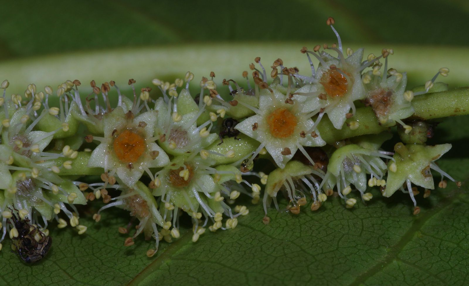 Terminalia catappa (amandier-plage, badamier)