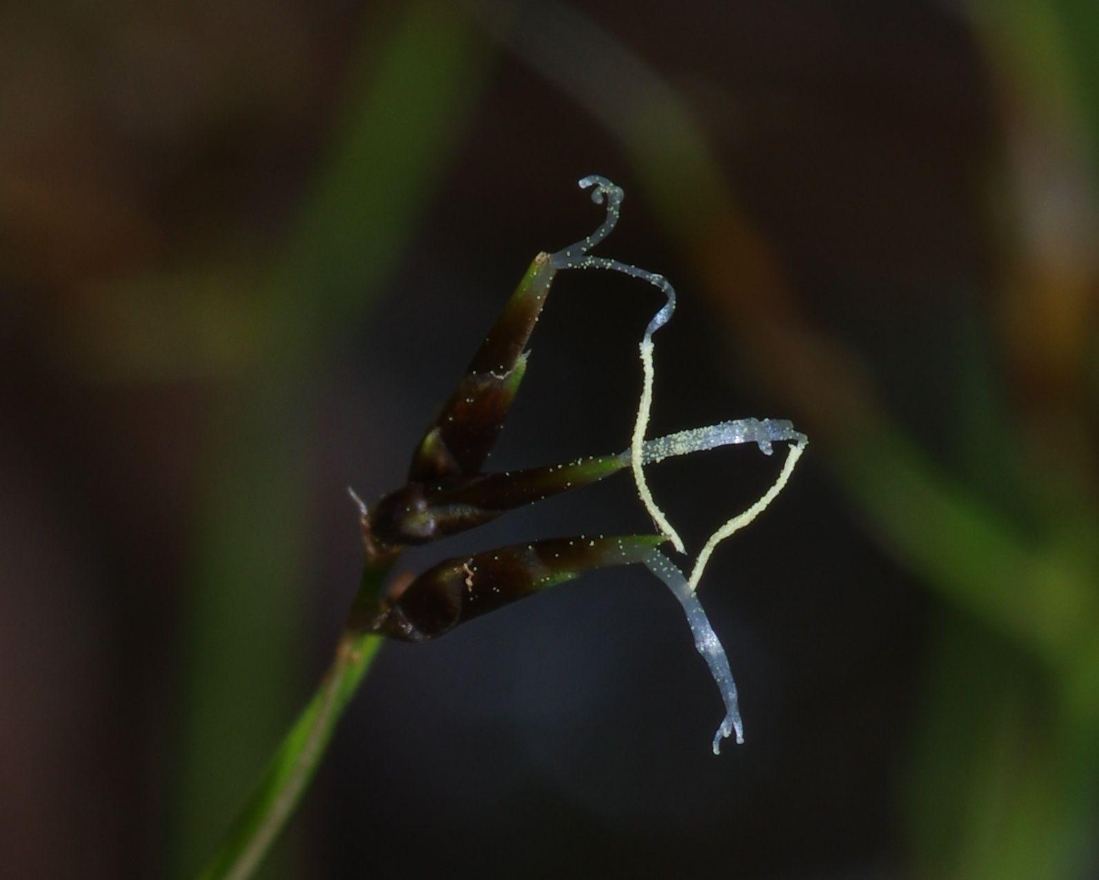 Rhynchospora spruceana ? (à confirmer)
