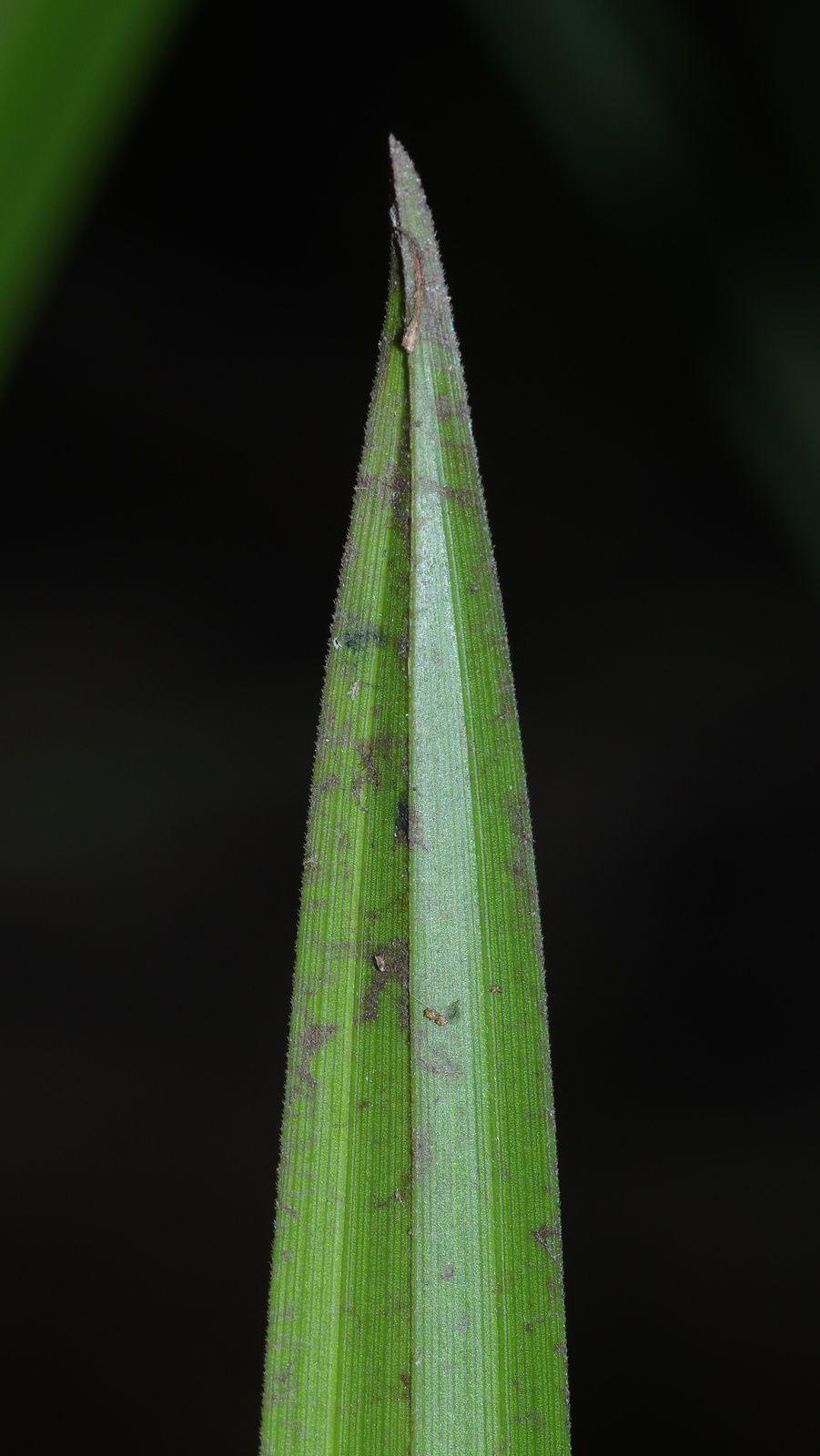 Becquerelia cymosa