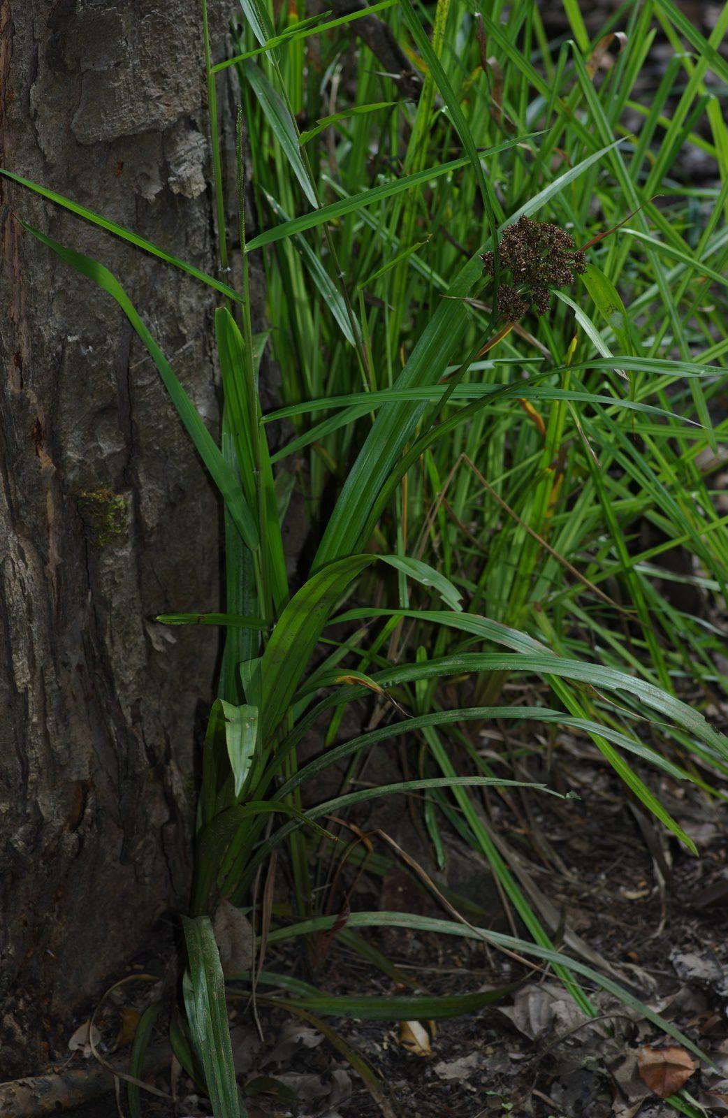 Hypolytrum longifolium subsp. sylvaticum