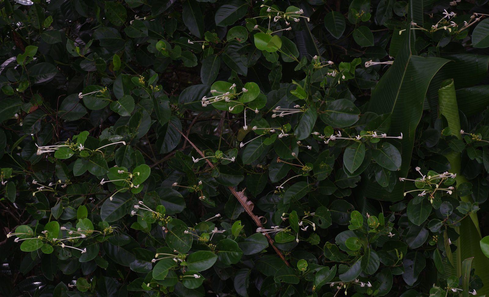 Posoqueria latifolia