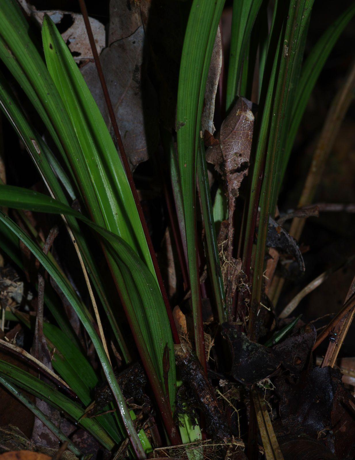 Bisboeckelera microcephala