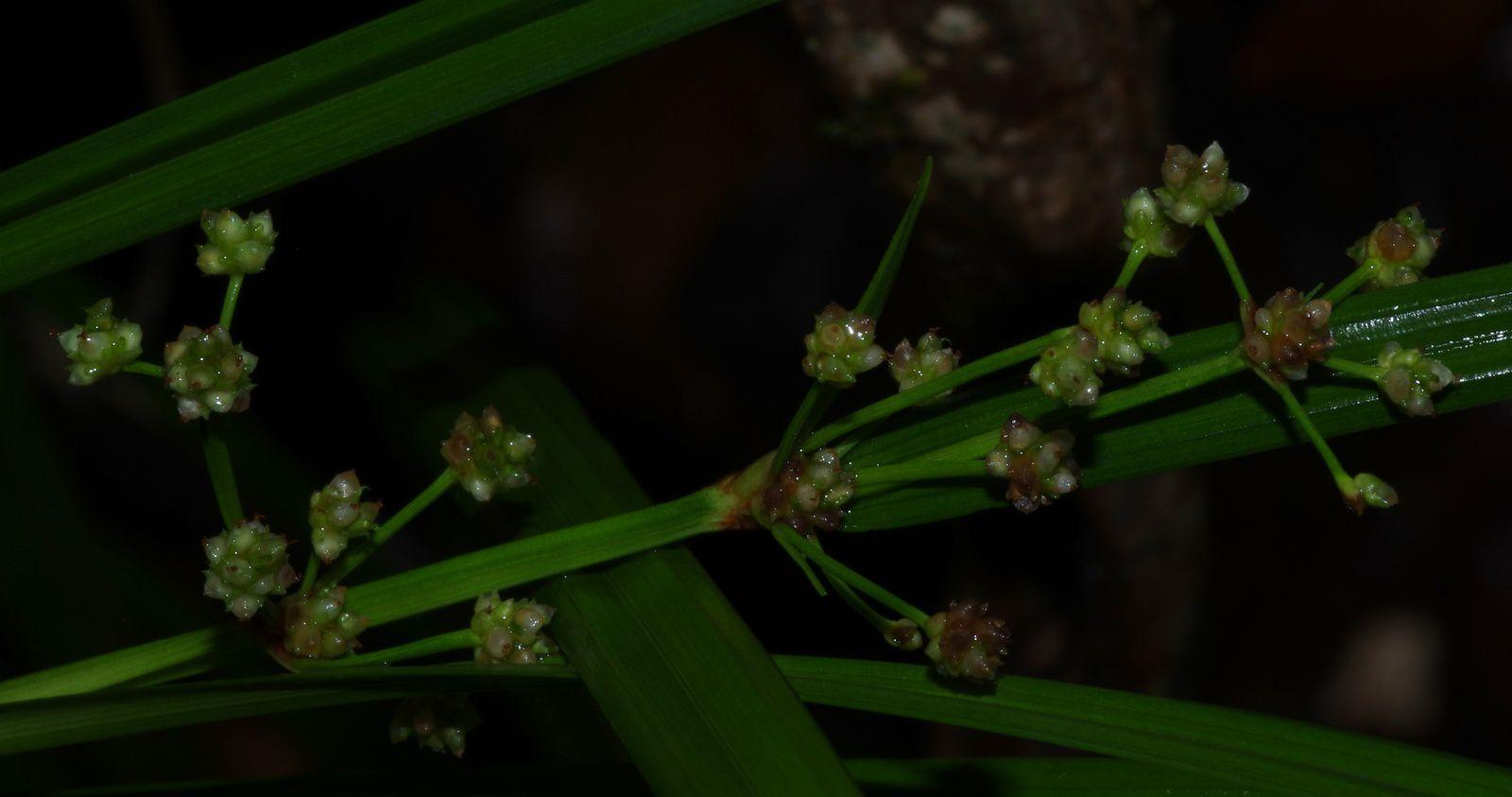 Calyptrocarya glomerulata