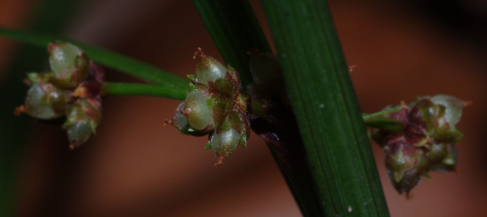 Calyptrocarya poeppigiana