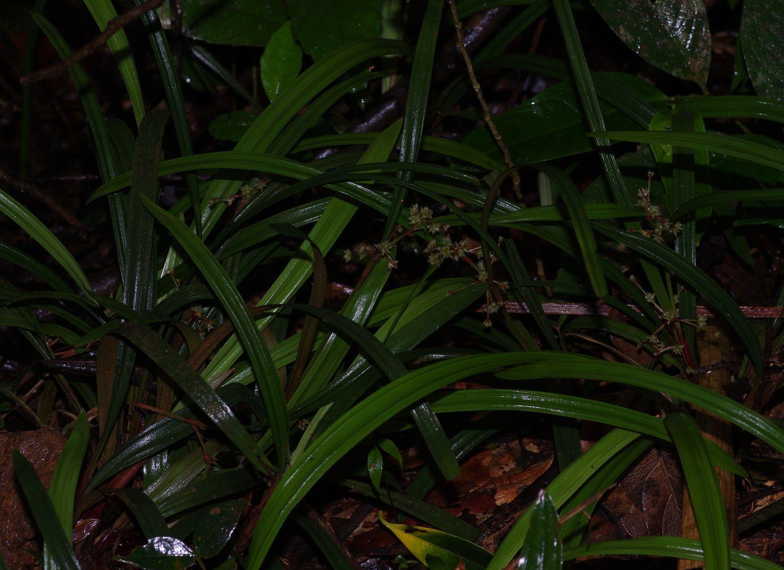 Calyptrocarya bicolor
