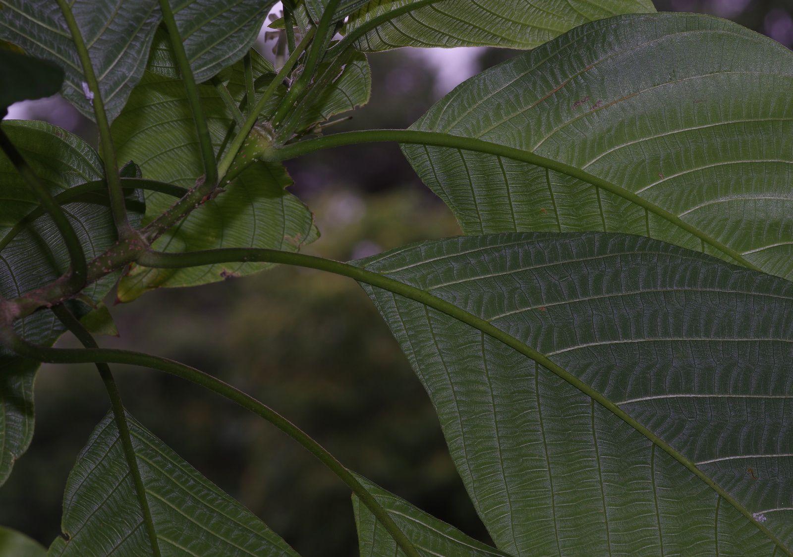 Guettarda argentea