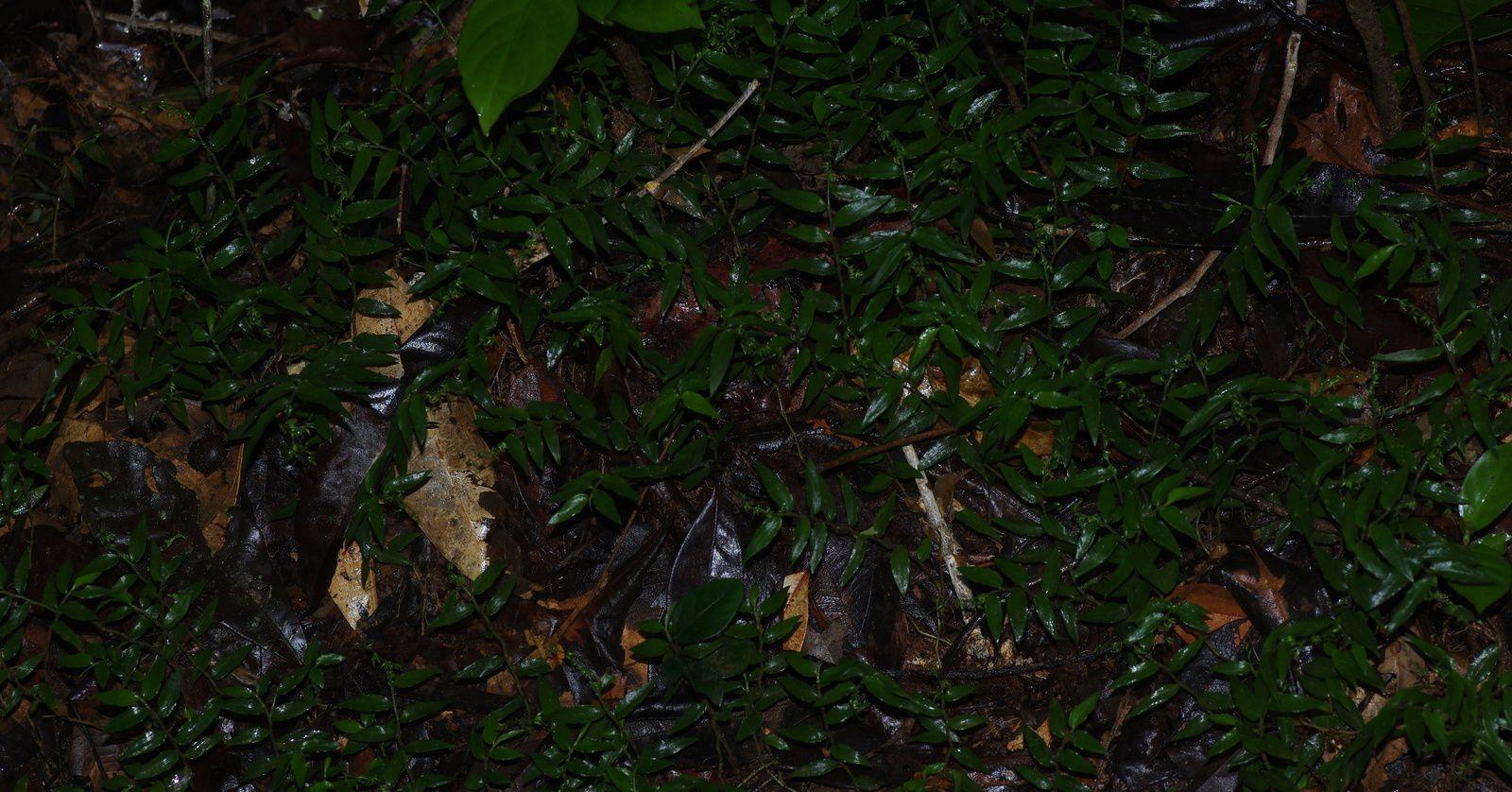 Ichnanthus tenuis