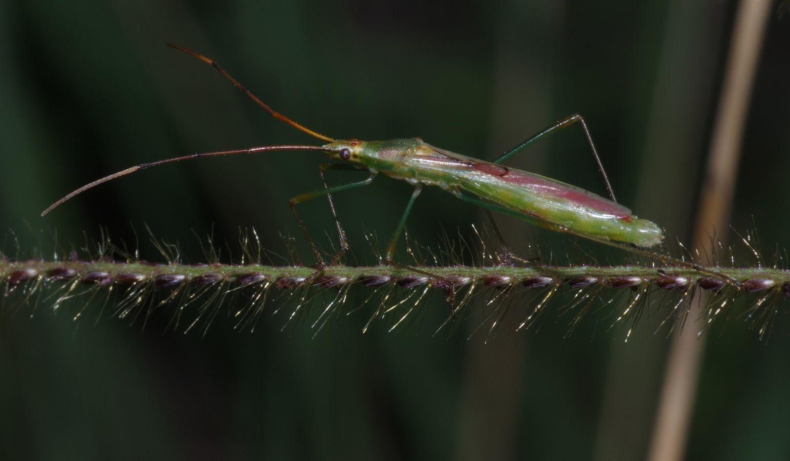 Axonopus aureus