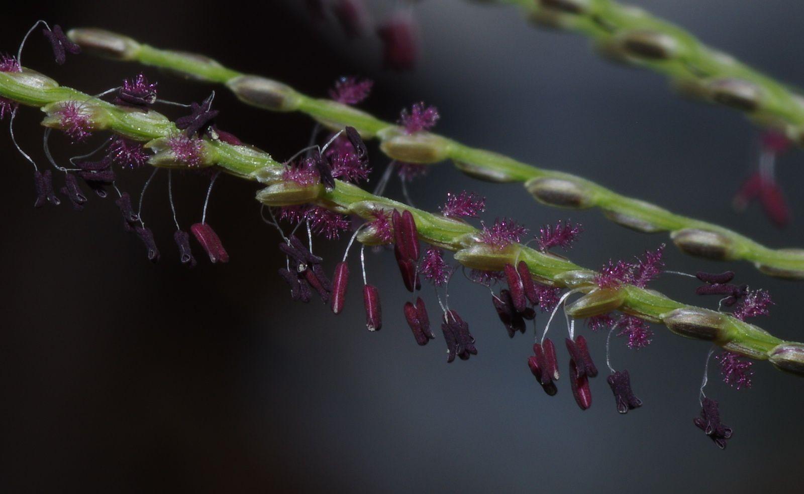 Axonopus pubivaginatus