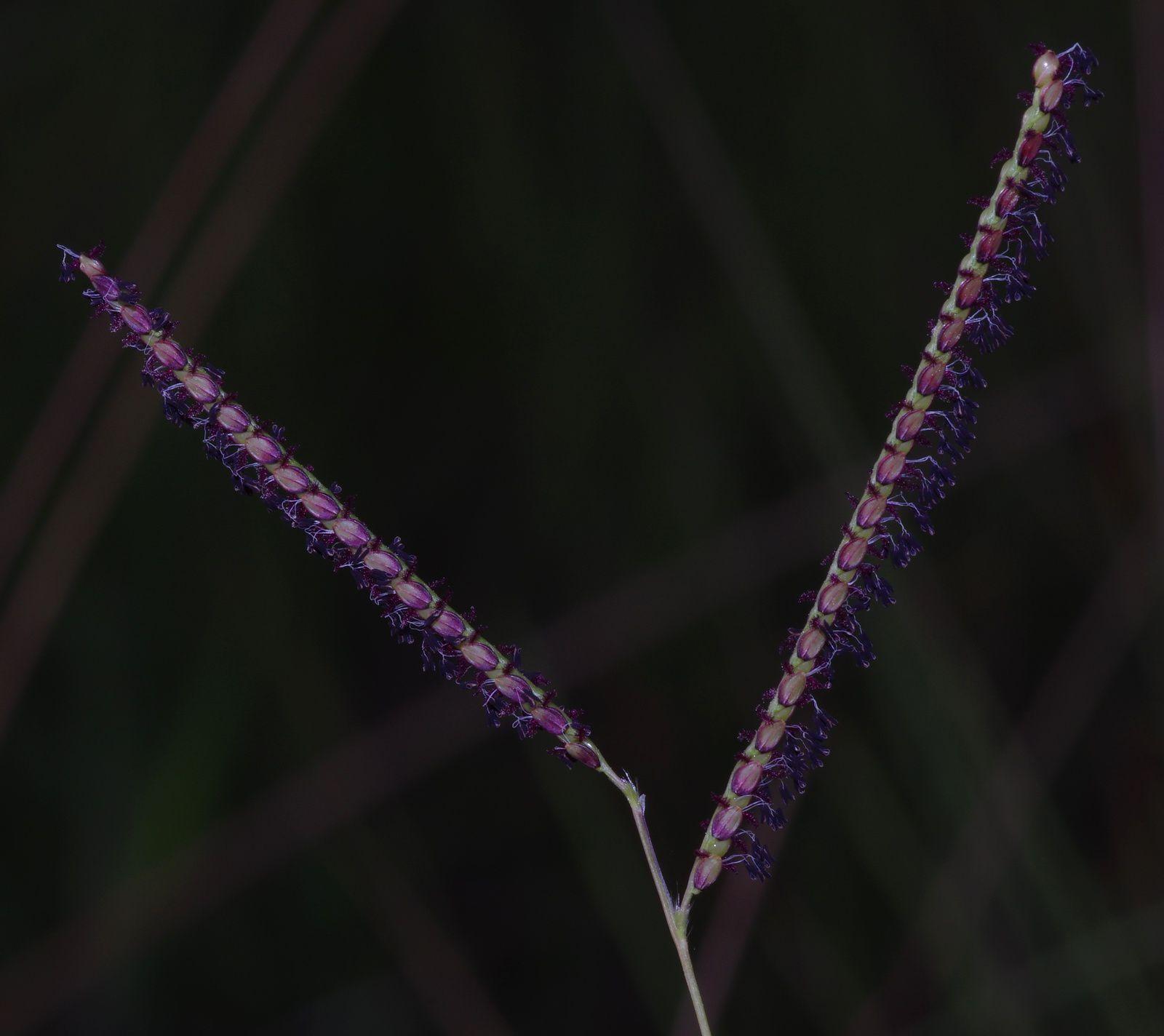 Paspalum pulchellum