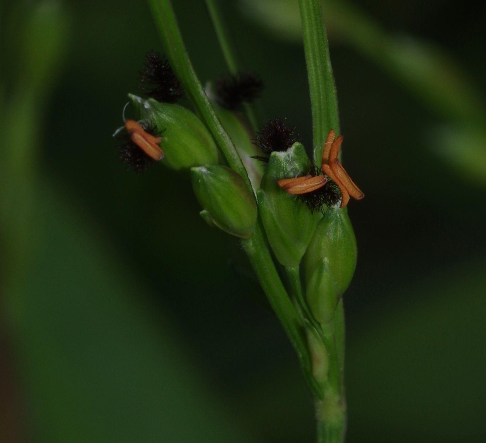 Acroceras zizanioides