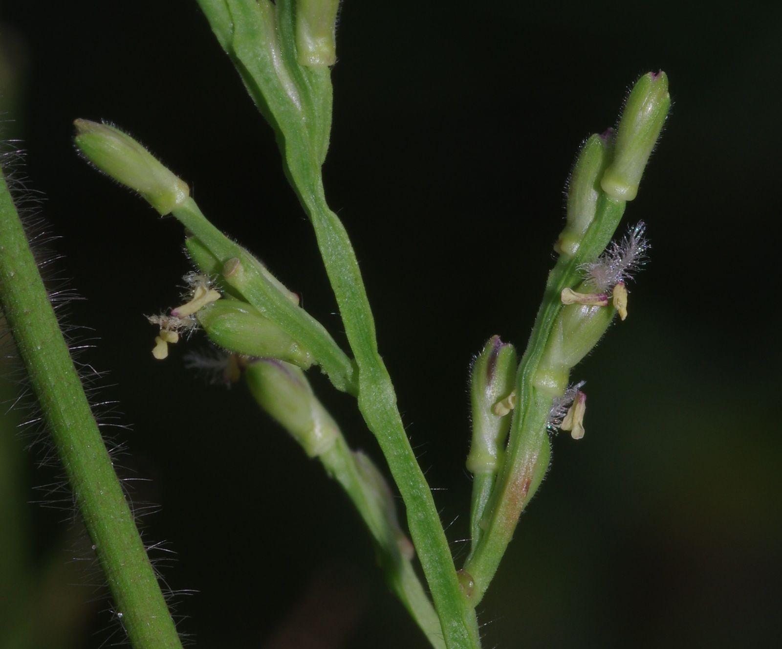Streptostachys asperifolia