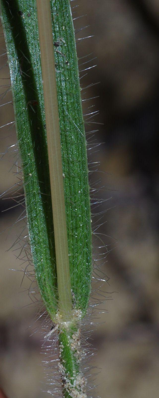Mesosetum loliiforme