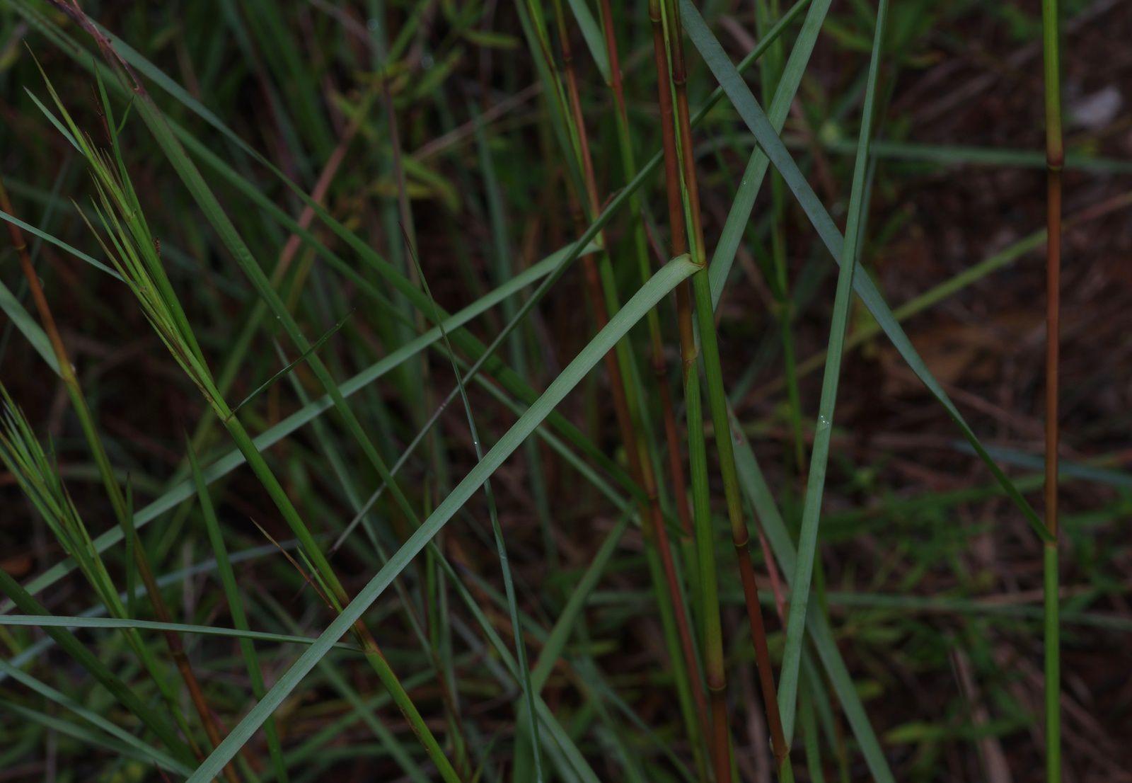 Andropogon bicornis
