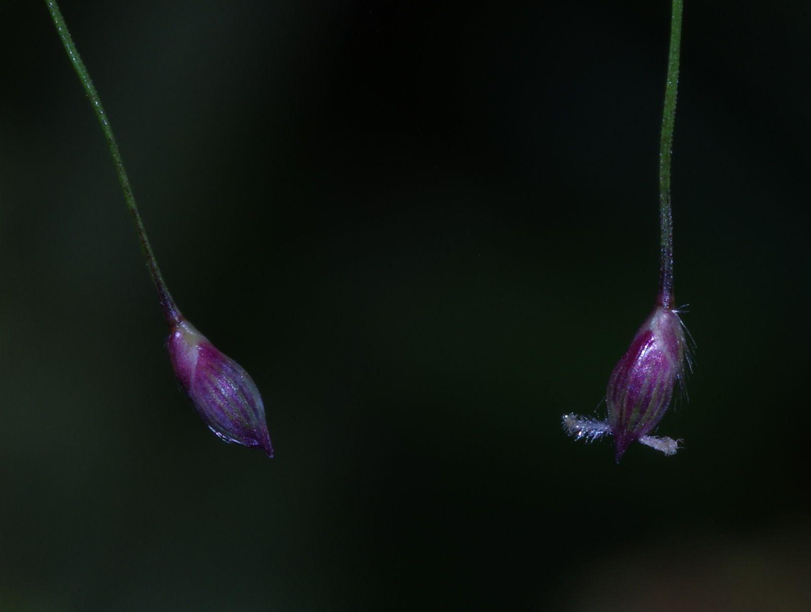 Panicum rudgei