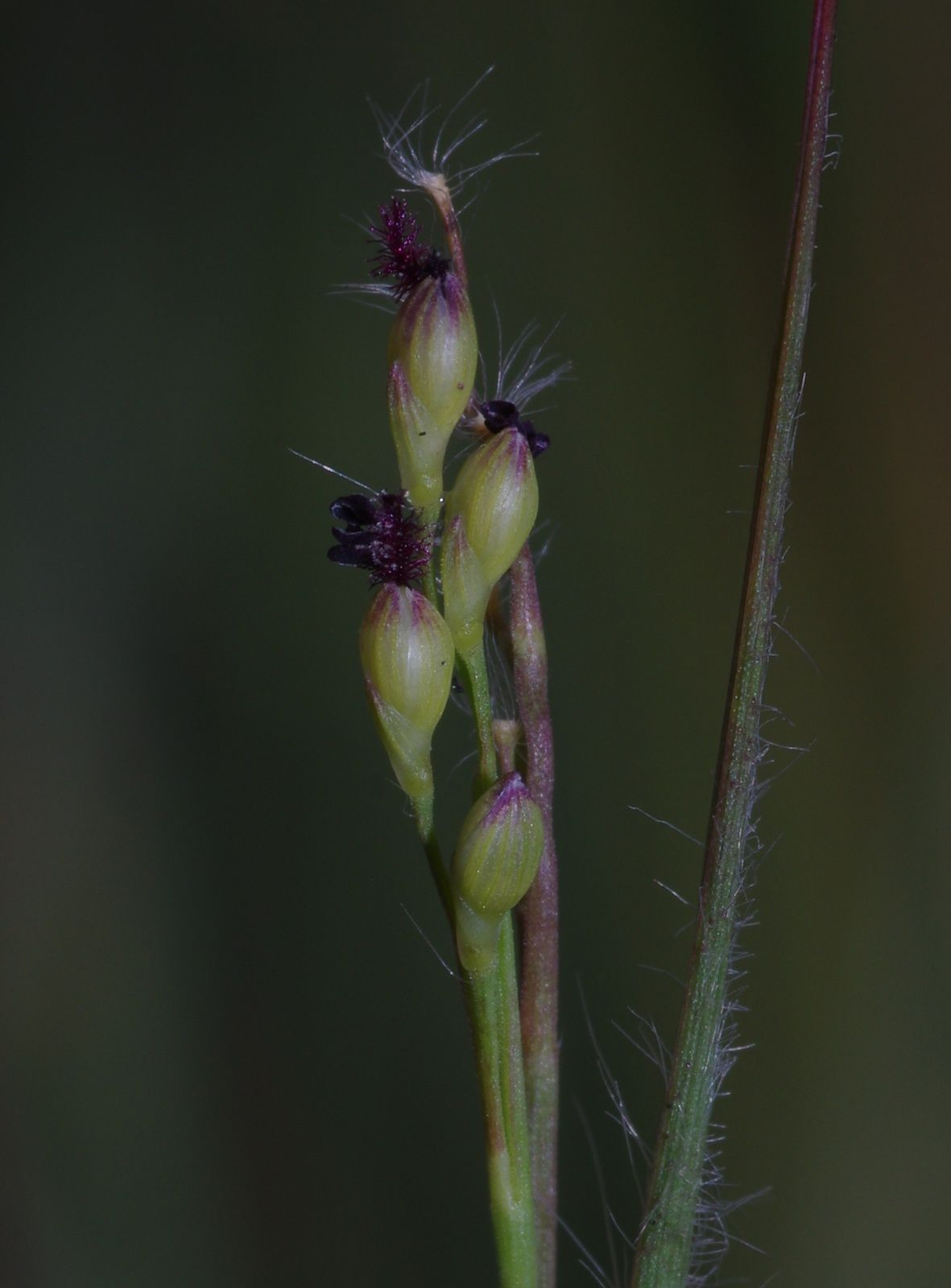 Panicum caricoides