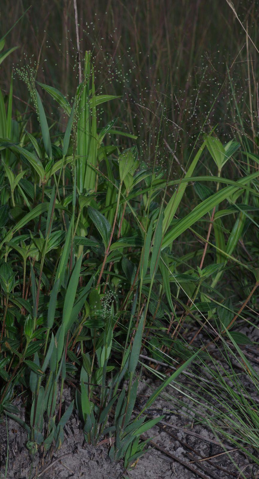 Panicum cyanescens