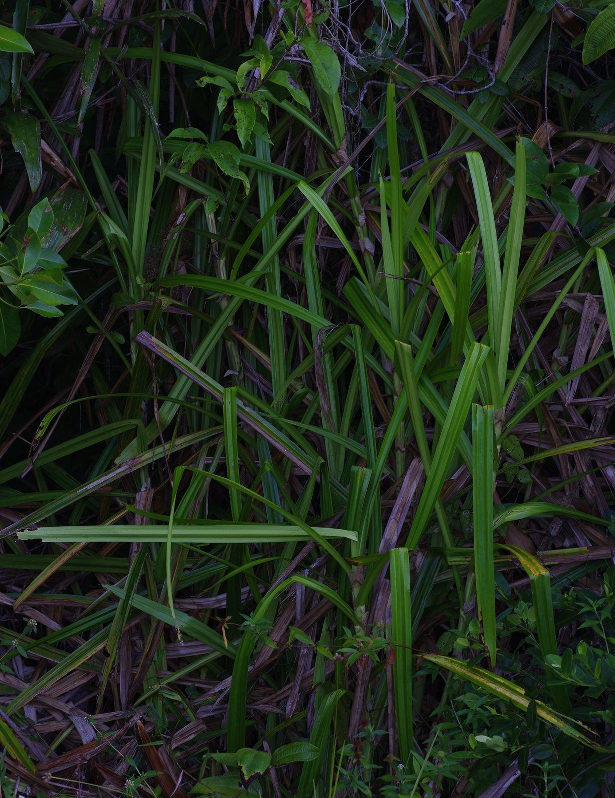 Scleria stipularis