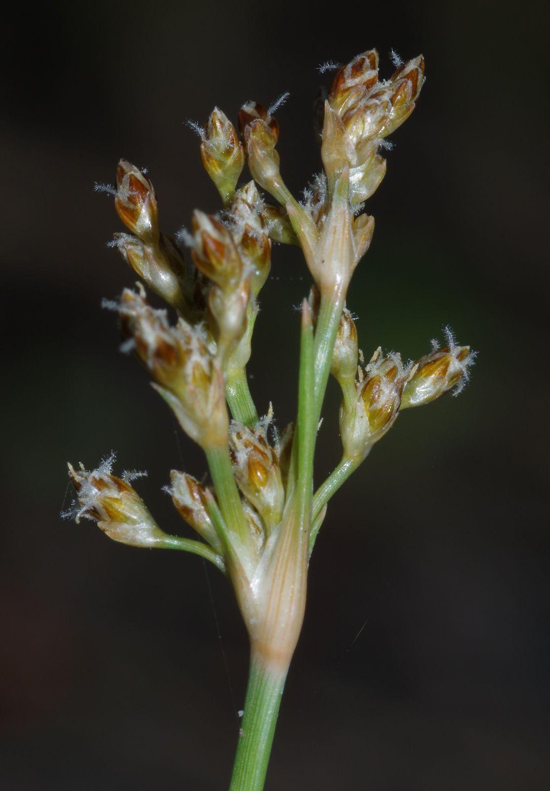 Fimbristylis cymosa