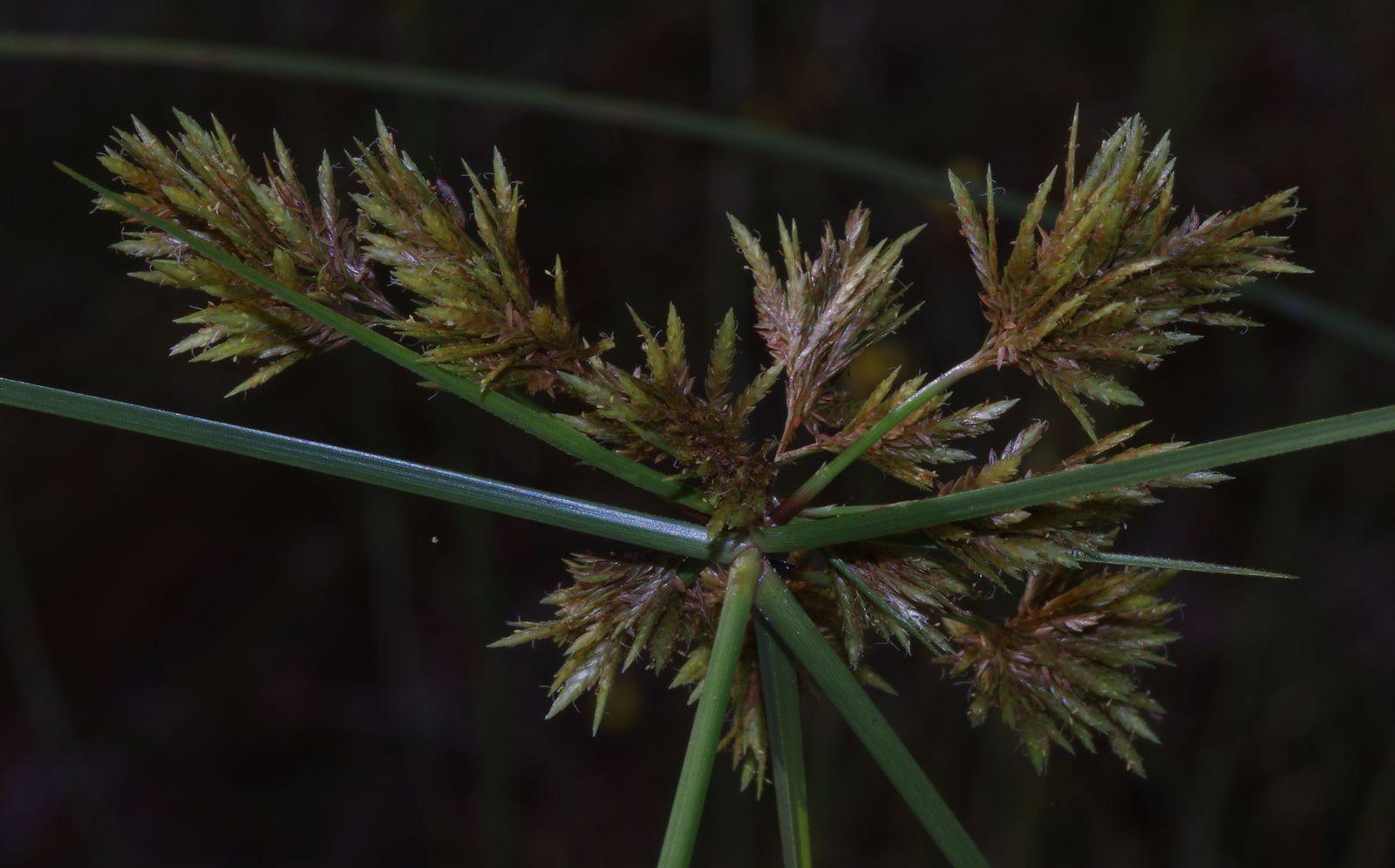 Cyperus polystachyos