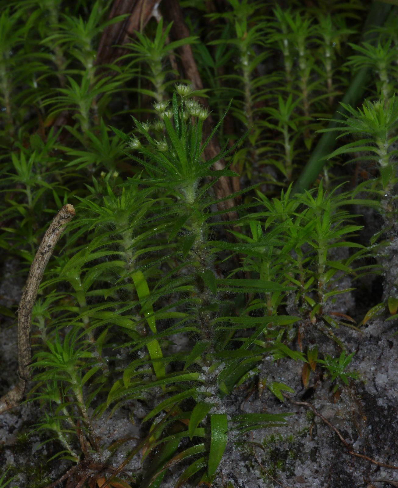 Paepalanthus bifidus