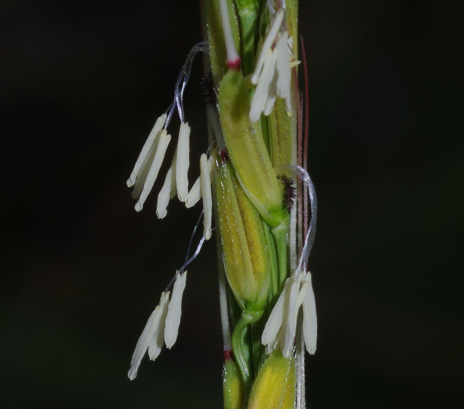 Oryza rufipogon (riz sauvage)