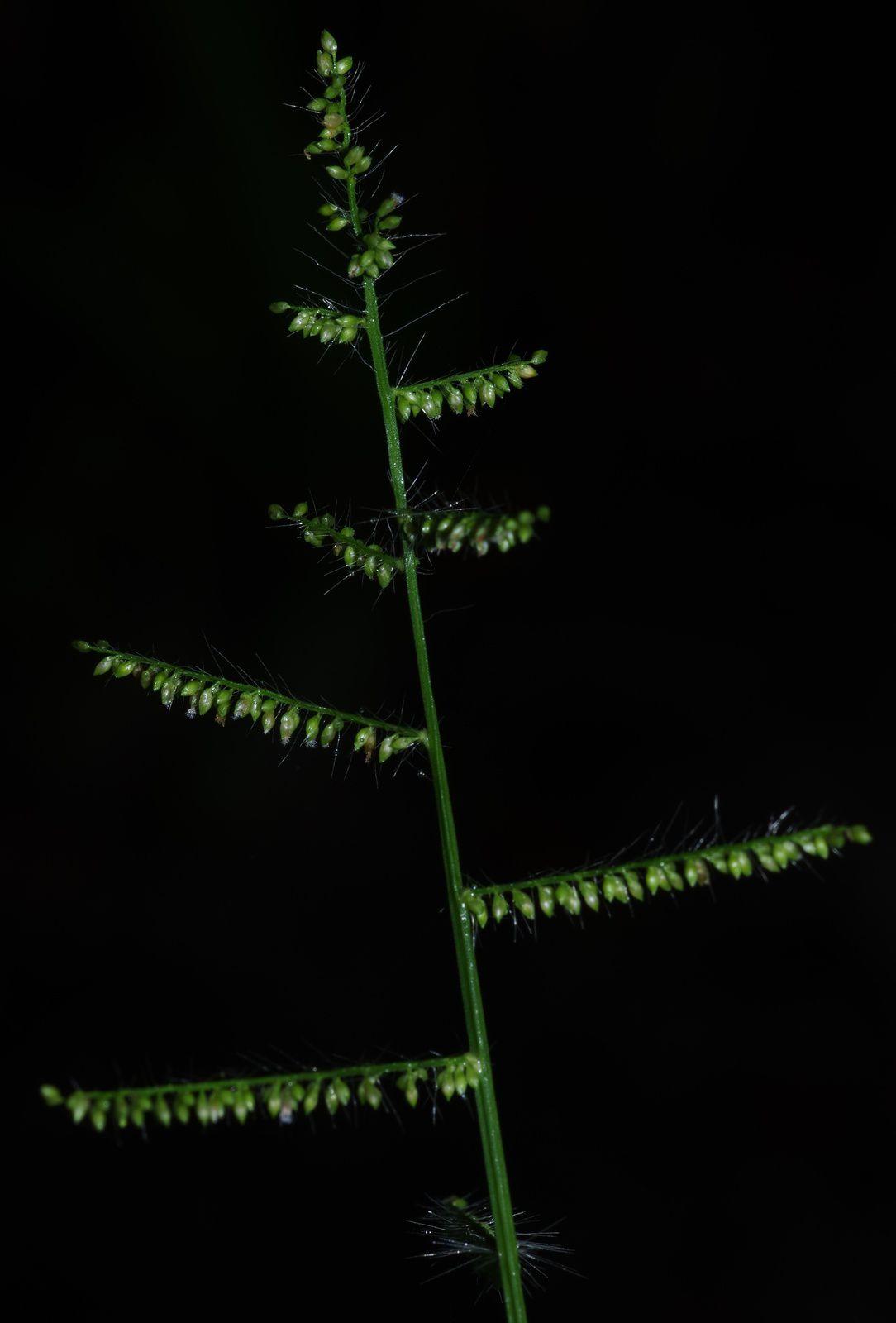 Panicum pilosum