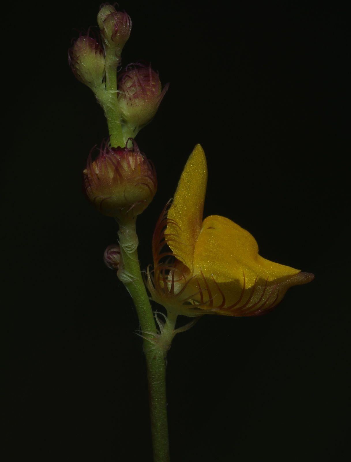 Utricularia congesta