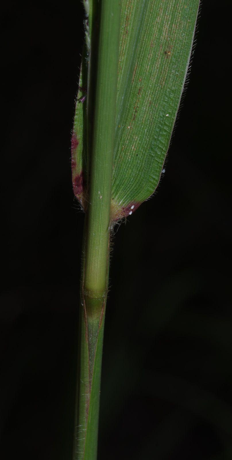 Thrasya robusta