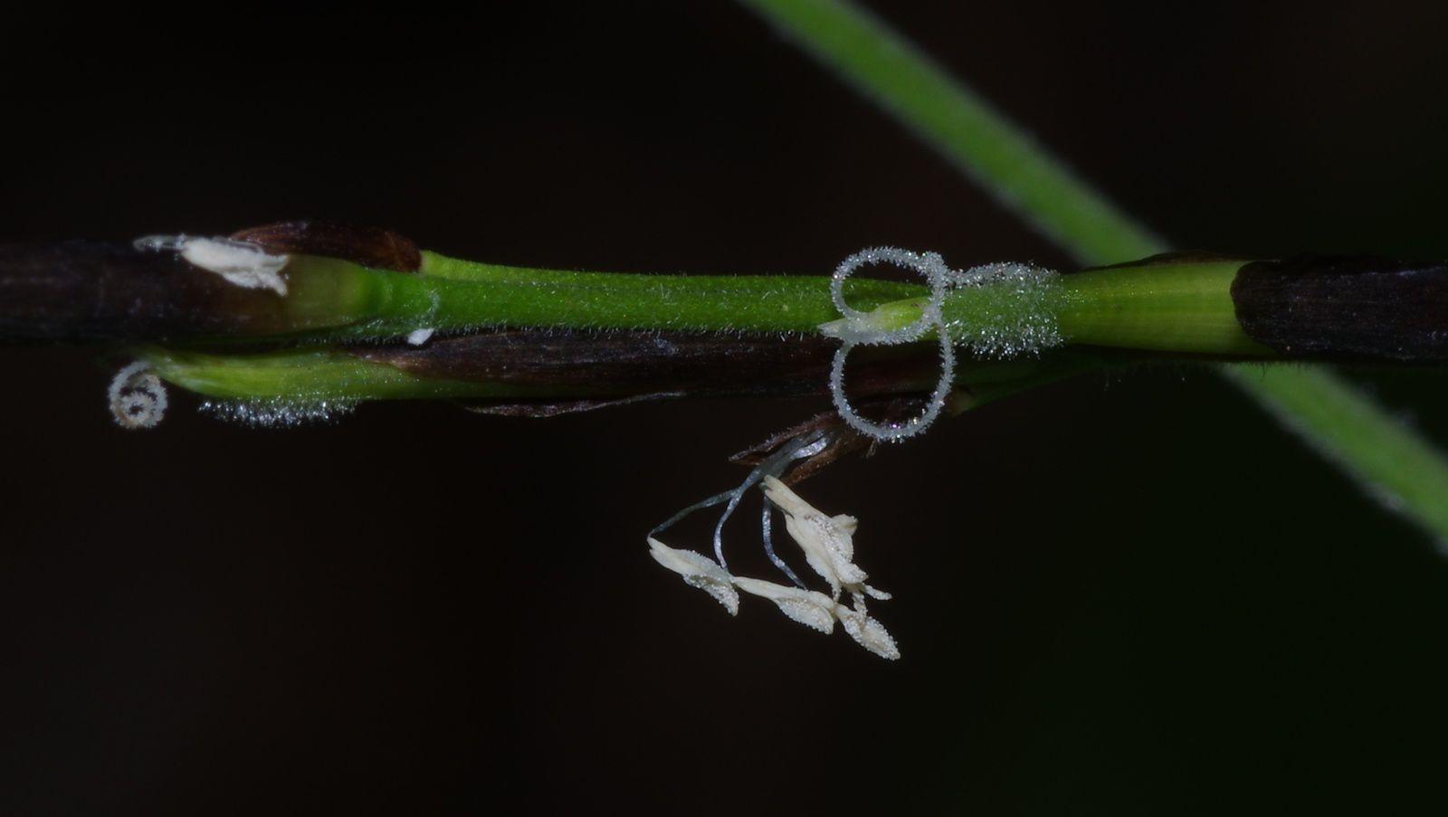 Pharus latifolius