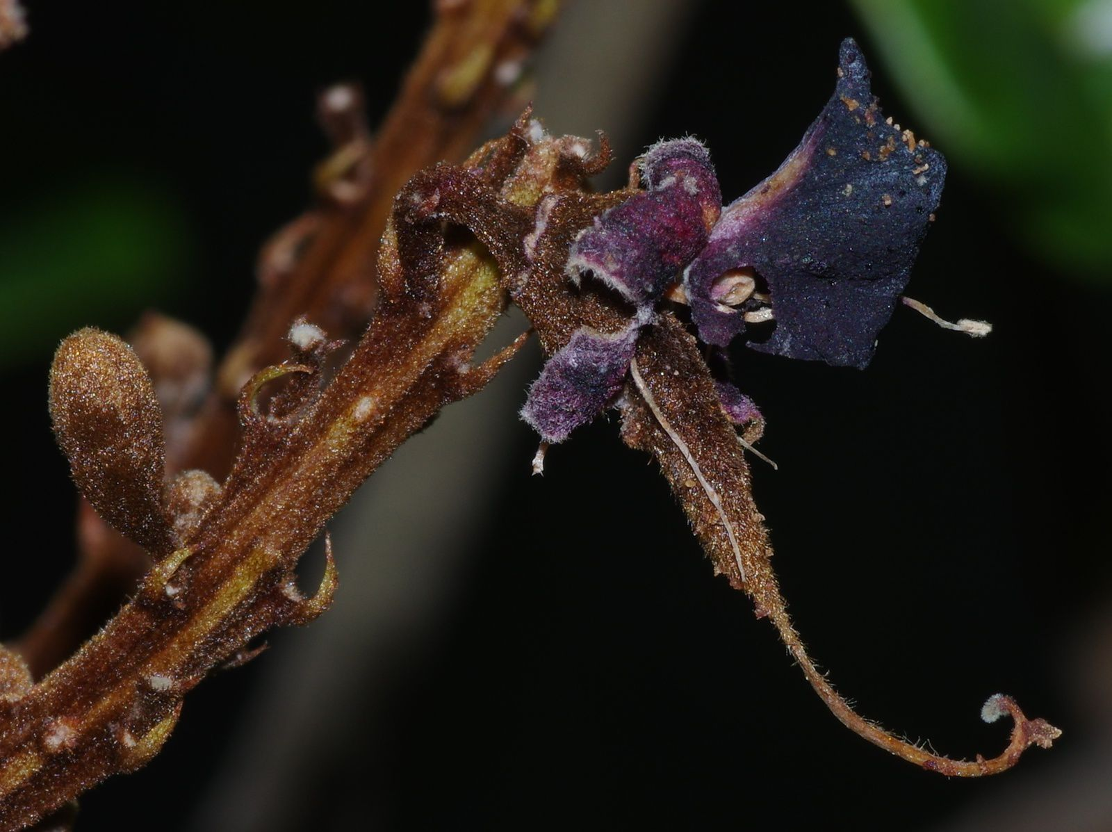 Ormosia coccinea (panacoco)