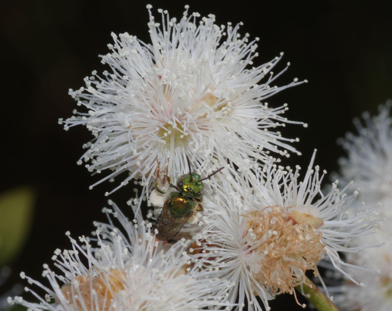 Marlierea montana