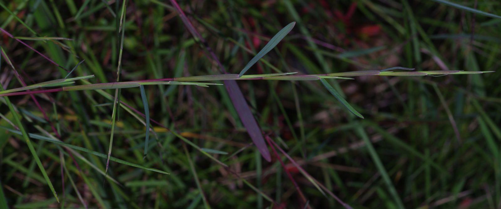 Schizachyrium maclaudii