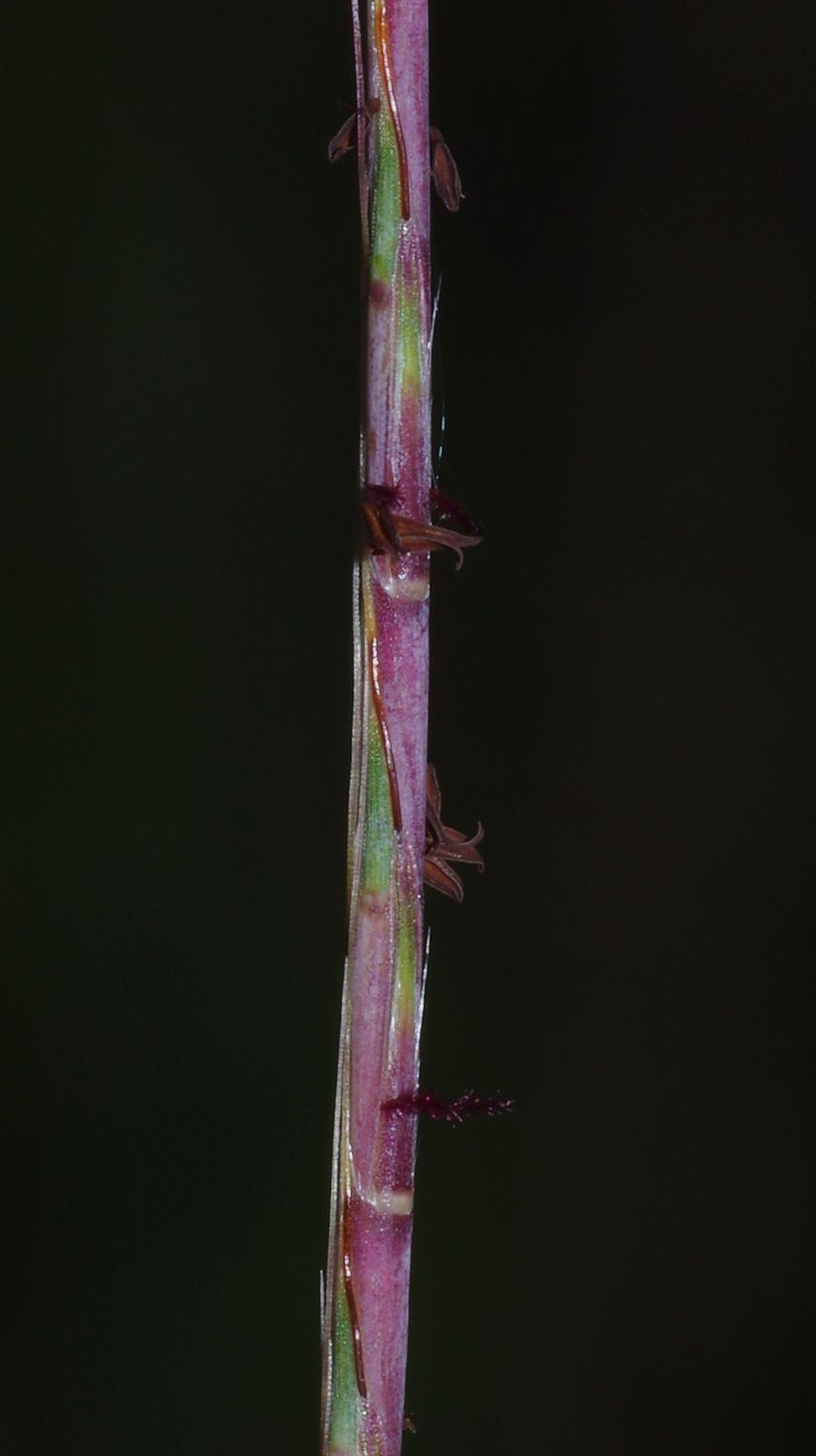 Schizachyrium sanguineum