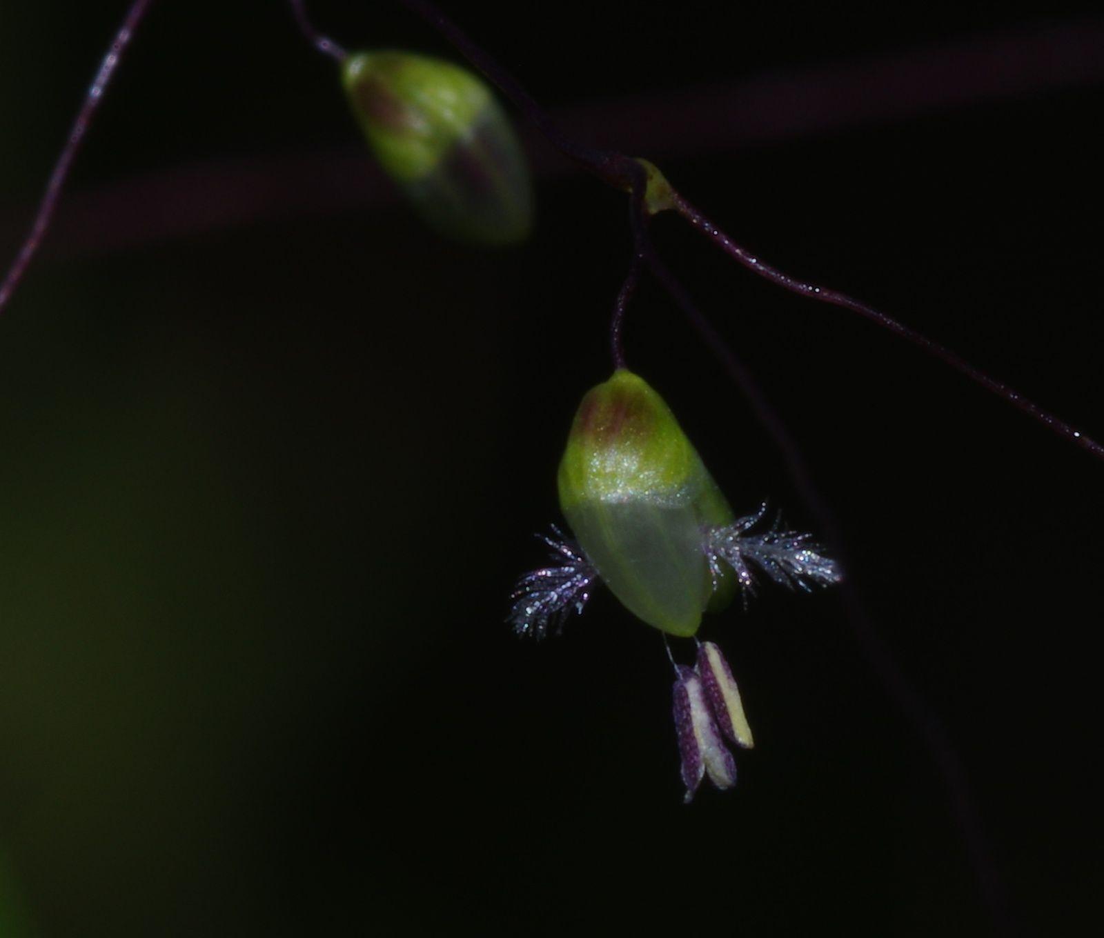 Otachyrium succisum