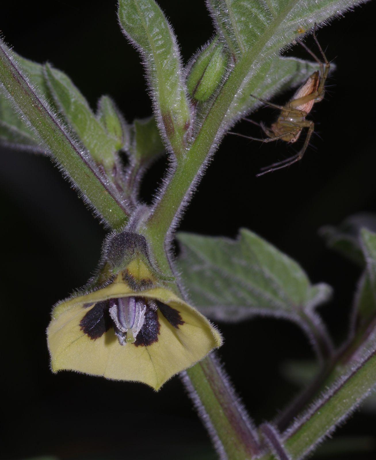 Physalis pubescens (batoto)