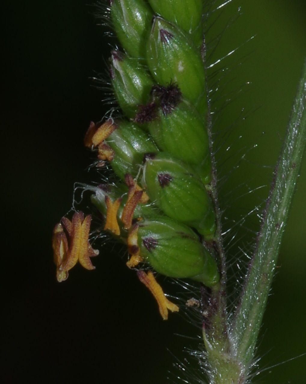 Urochloa decumbens