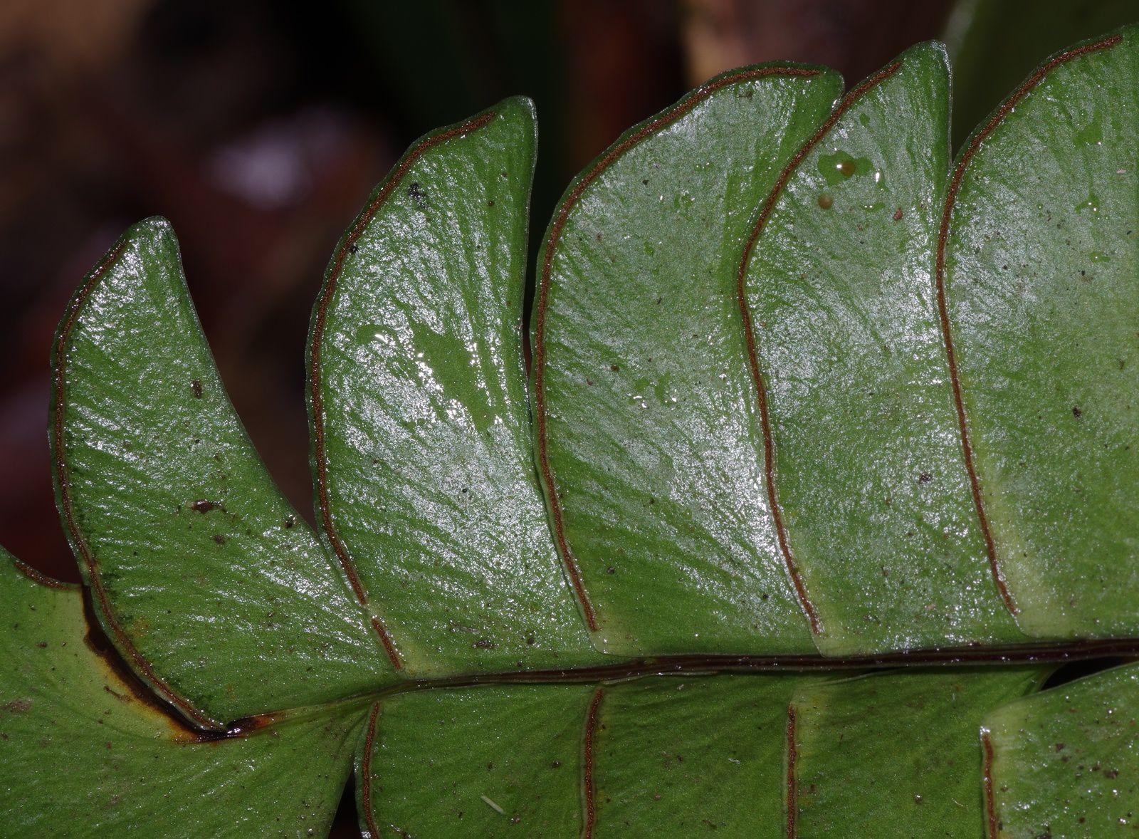 Lindsaea lancea var. falcata
