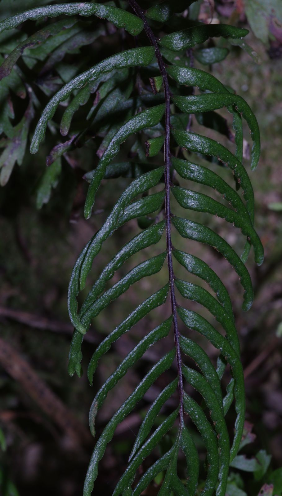 Lindsaea dubia