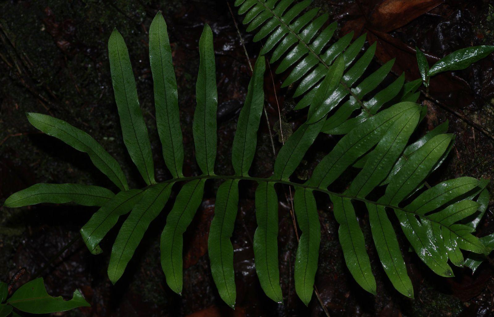 Serpocaulon attenuatum