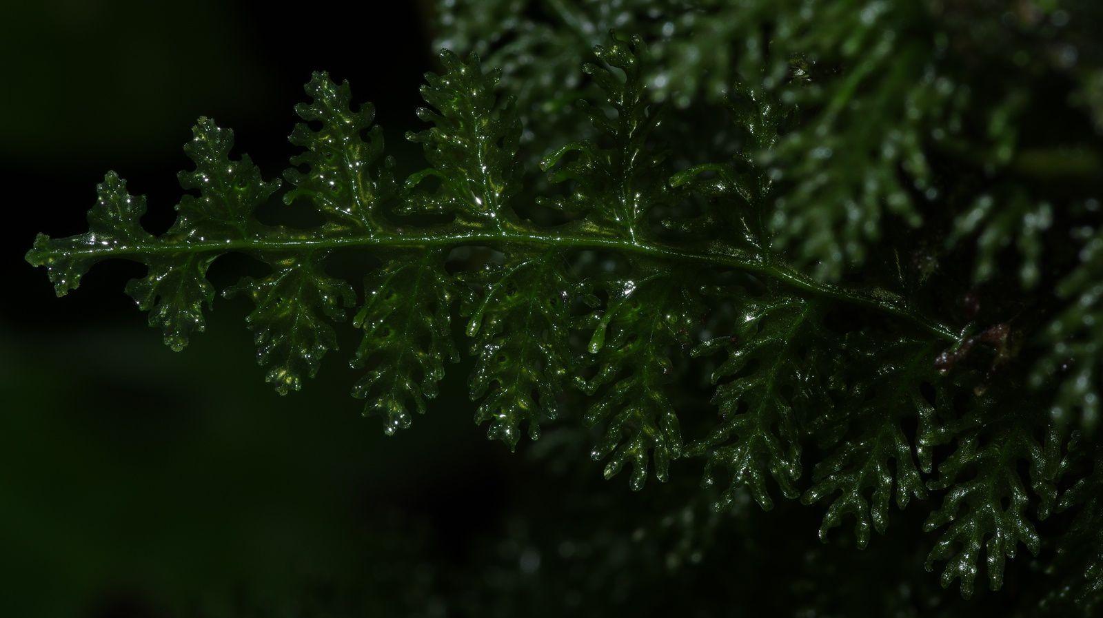 Trichomanes pedicellatum