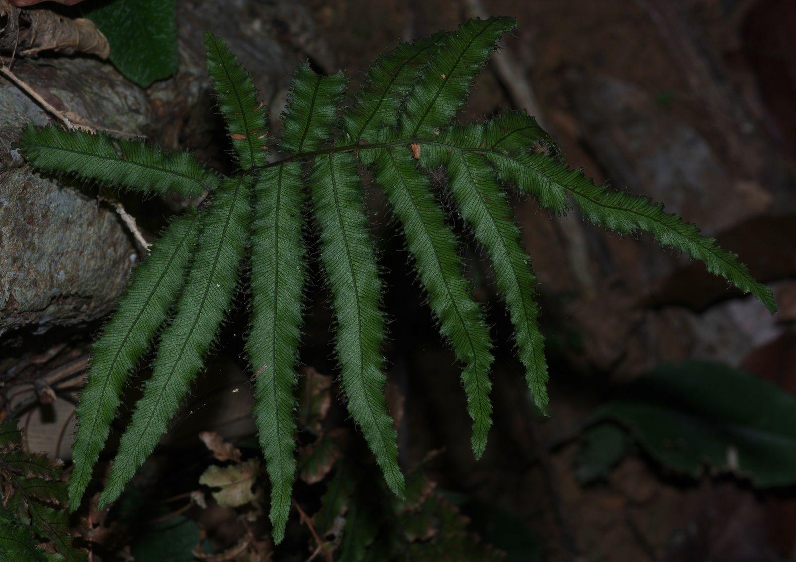Trichomanes pinnatum